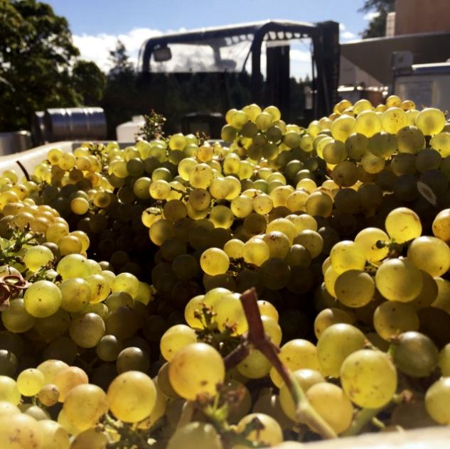 Chardonnay in sun