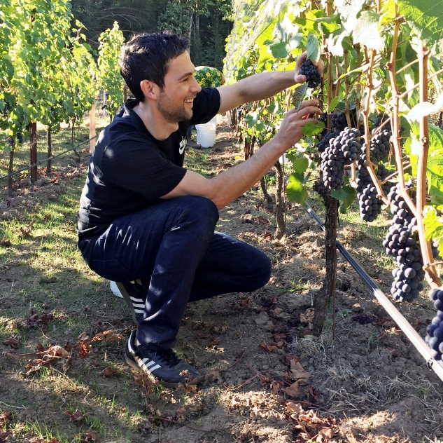 Saul harvesting grapes